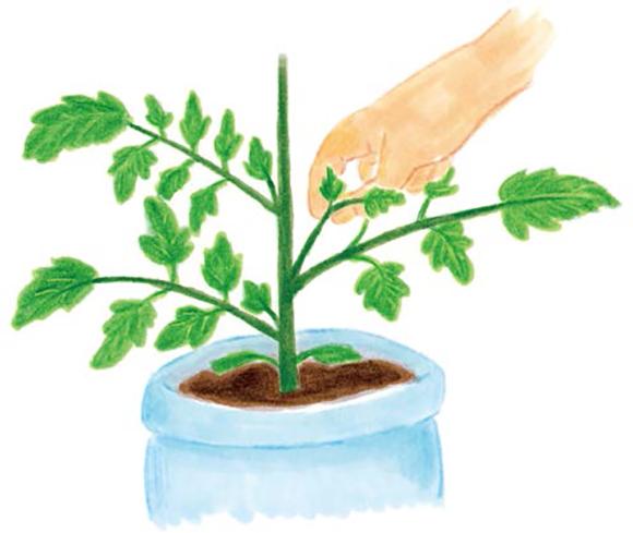 画像: わき芽は伸びないうちに摘み取る