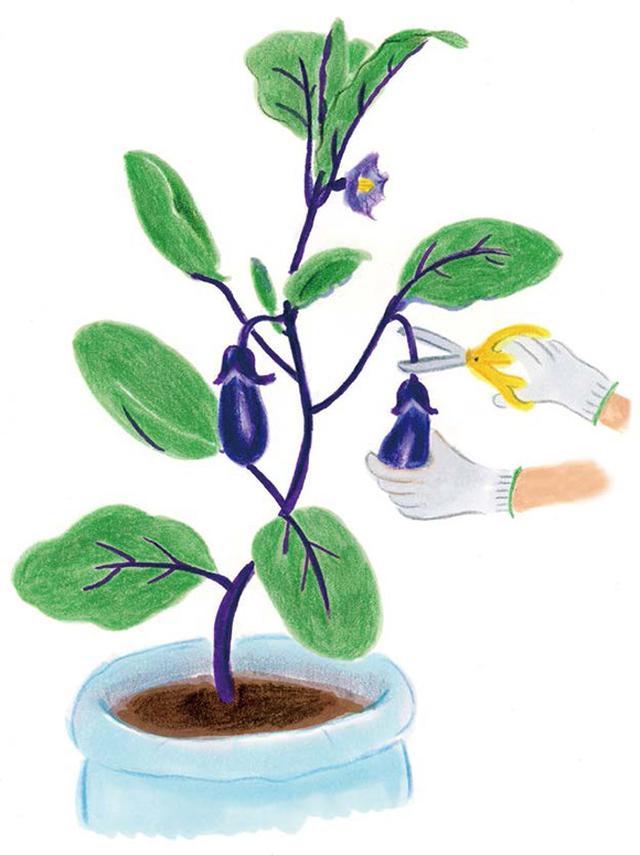 画像: 栽培管理と収穫