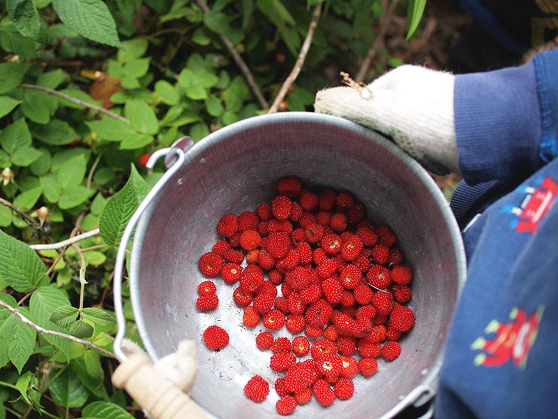 画像: 山主さんと山に入り、野イチゴを収穫。息子は摘みながらその場でパクパク食べていくので、収穫バケツにはなかなかたまりません