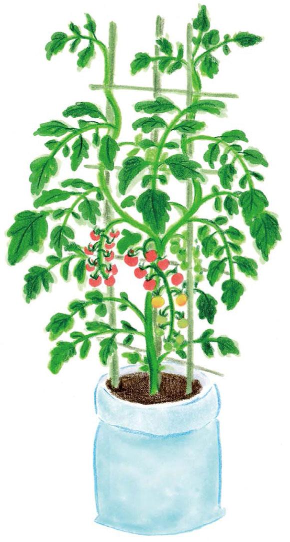 画像: わき芽を取る