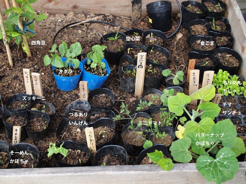 画像: 庭の一角に植えた野菜の苗たち