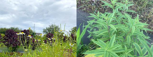 画像: 左:カモミール 右:レモンバーベナ
