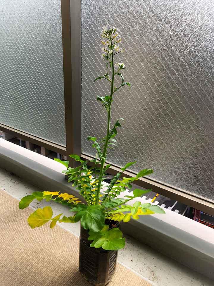 画像: ニョキニョキのびた大根に花が咲きました