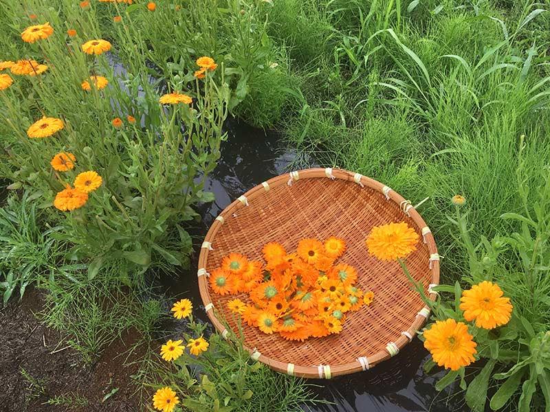 画像: 花物のハーブが盛りを迎える初夏