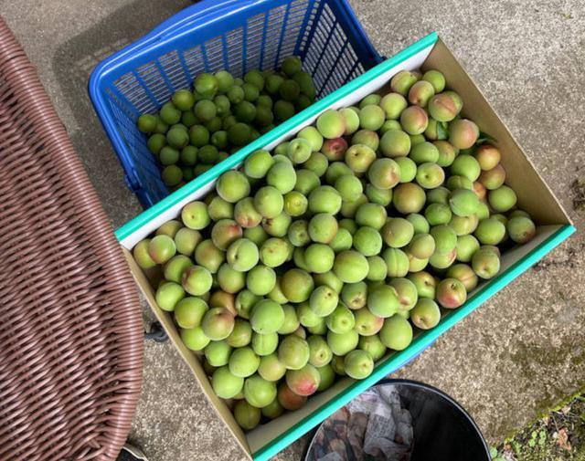 画像: 今年は梅が大豊作。梅シロップをたくさん仕込みました
