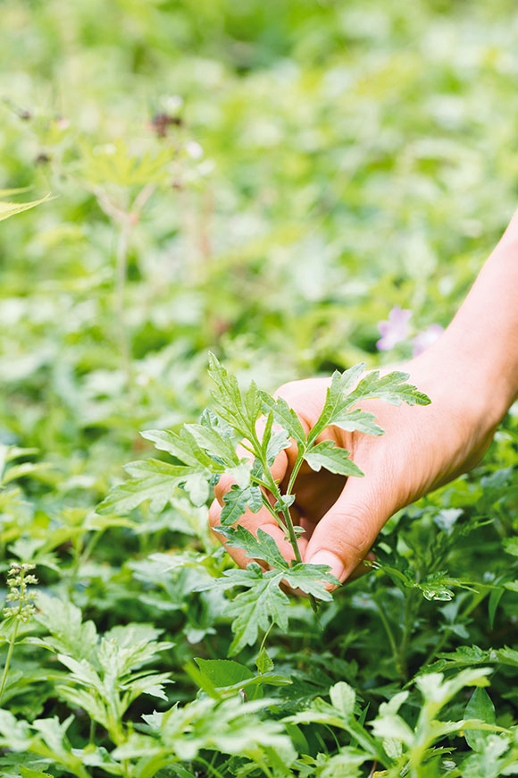画像: 食べるための草の摘み方と扱い方について