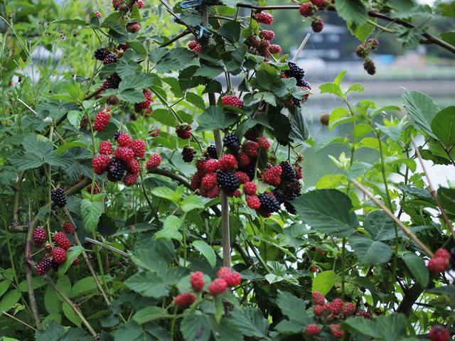 画像: 次から次へとどんどん熟していくブラックベリー。収穫は9月ごろまで続きます