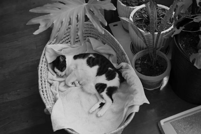 画像: 福助は来客にかまわずよく眠る猫