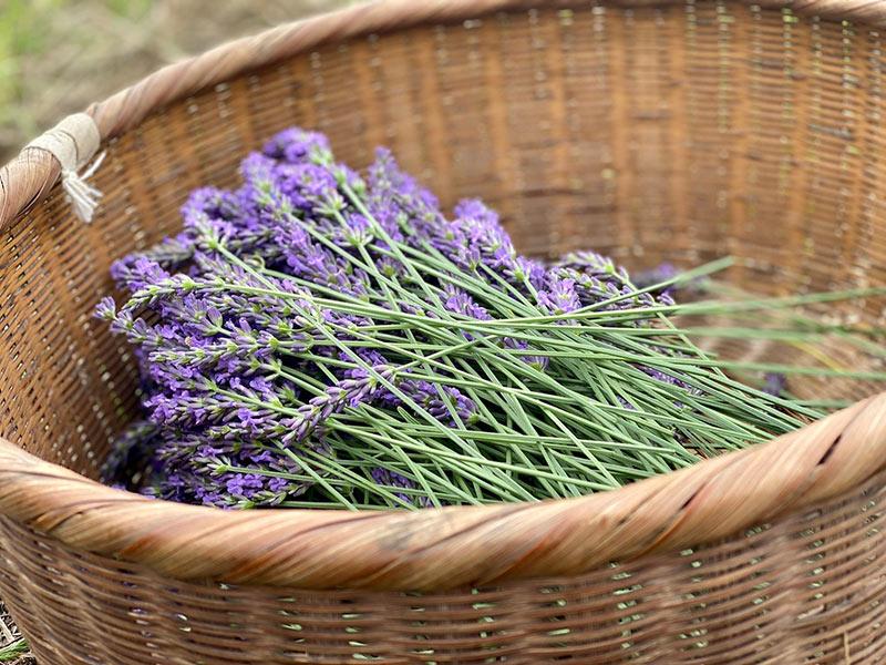 画像: 芳香剤や防虫剤になるハーブクラフト、ラベンダーバンドルズのつくり方|ハーブ農家のハーブ生活