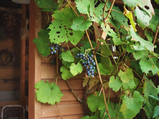画像: 葉っぱはあちこちに虫食いがあるけど、ぶどうの果実は無事でした