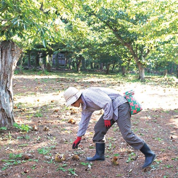 画像: 1シーズンで収穫する栗は3〜5トン