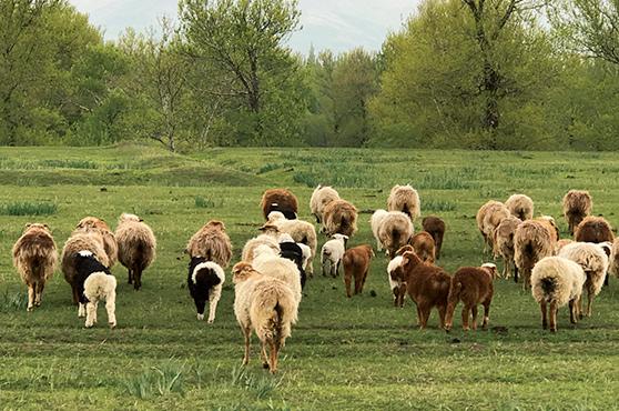 画像: 大自然の中で放牧されているカシミヤヤギ