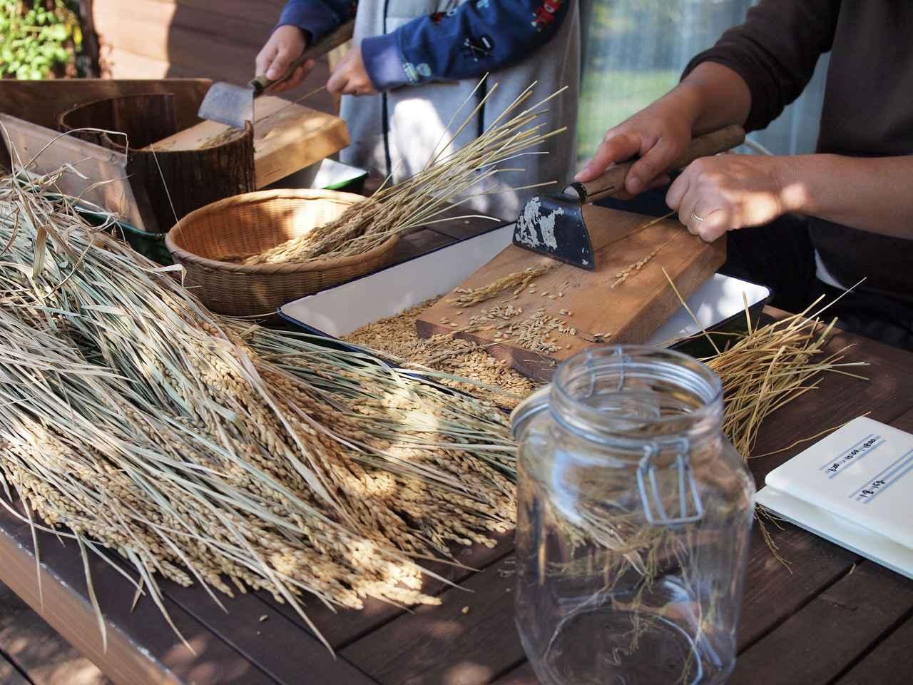 画像: 脱穀風景。道具は廃材の板や園芸道具など家にあるものなんでも使って、いろいろ試しました
