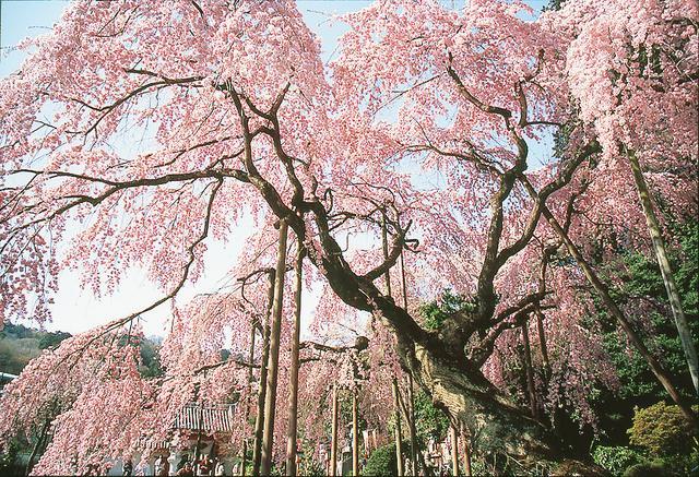 画像: 桜シーズン到来!各地のさくらまつりを楽しもう! – 栃木市観光協会 桜シーズン到来!各地のさくらまつりを楽しもう! – 栃木市観光協会