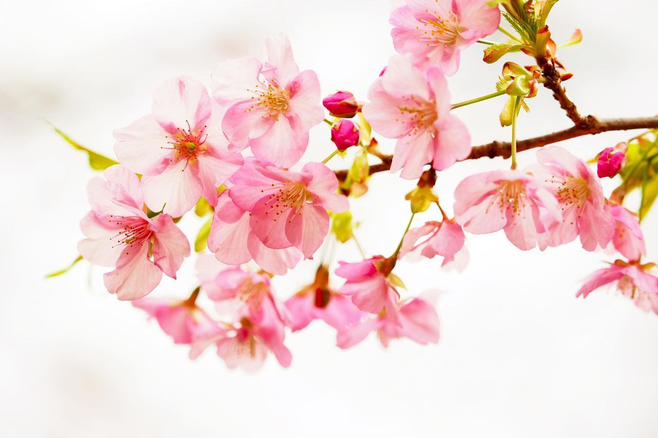 画像2: 道中で偶然桜が綺麗なポイントに出会いました!