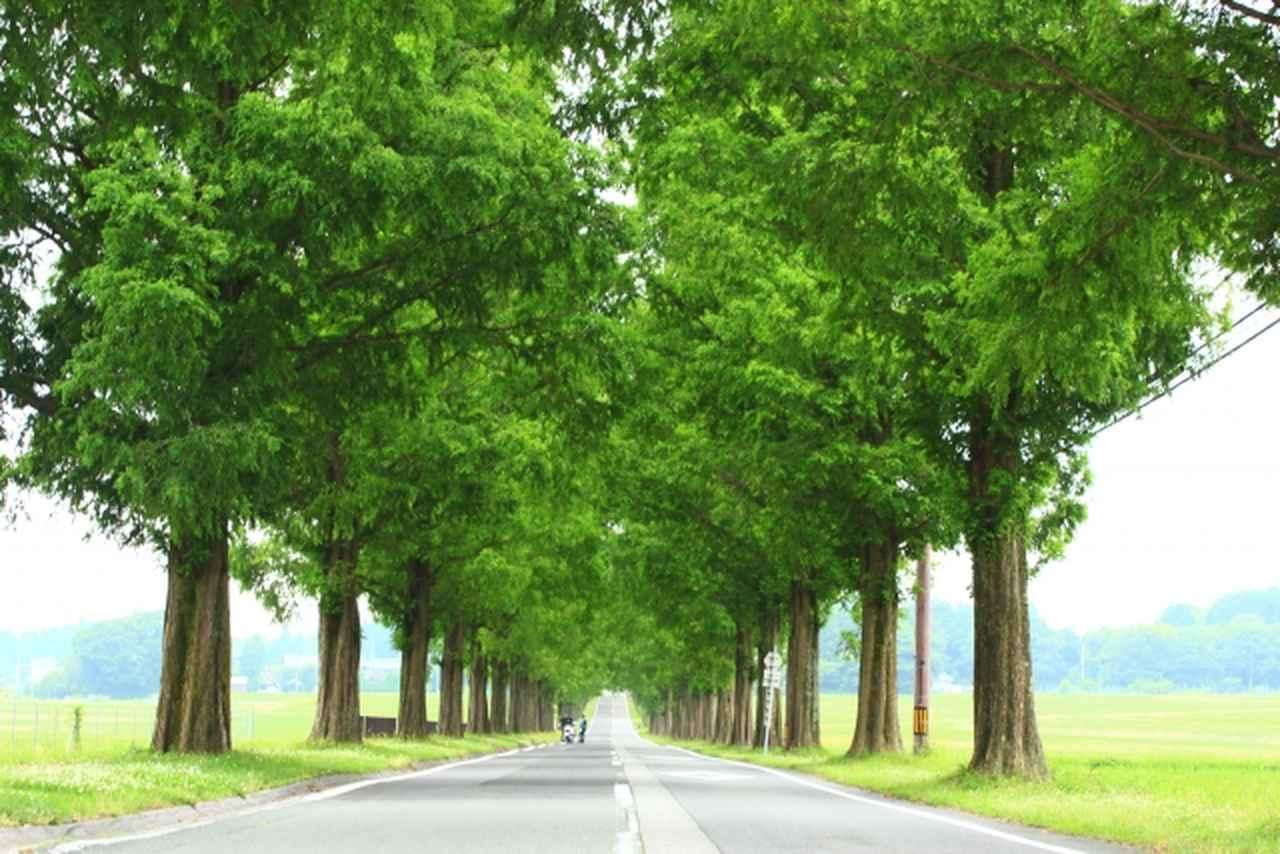 画像: メタセコイア並木 www.photo-ac.com