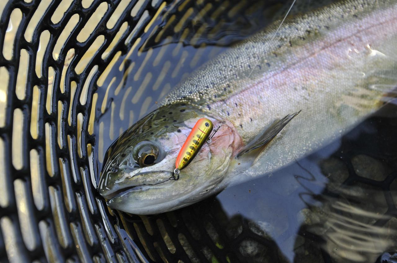 画像: こちらがニジマス。管理釣り場のメインターゲット