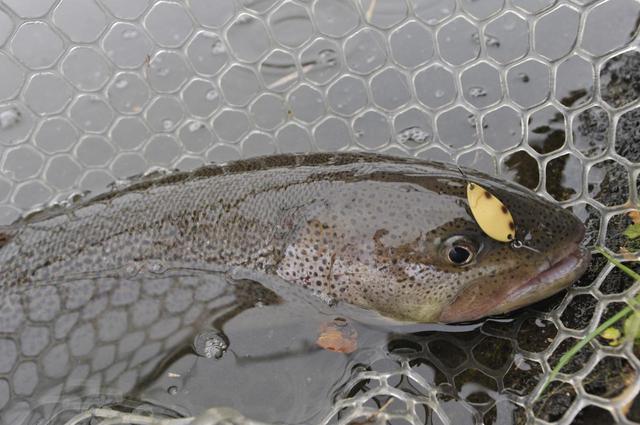 画像: 幻の魚と呼ばれるイトウも管理釣り場で釣ることができます