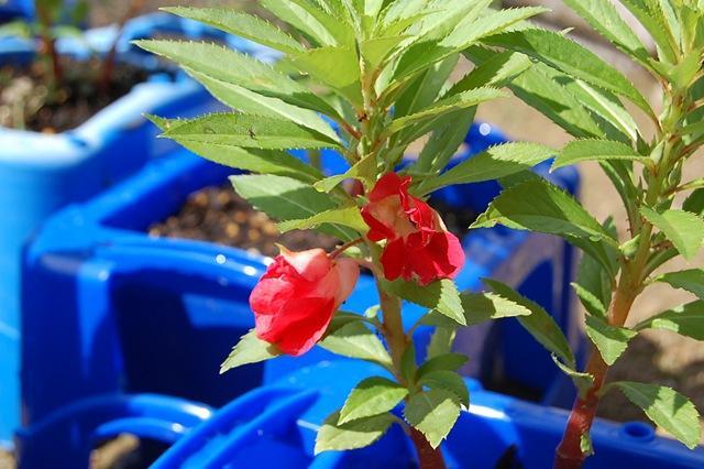 画像: ホウセンカの花