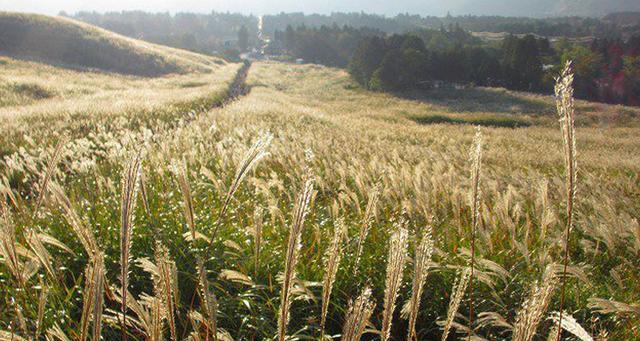画像: 仙石原ススキ草原