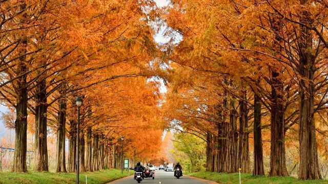 画像: メタセコイア並木(滋賀県)