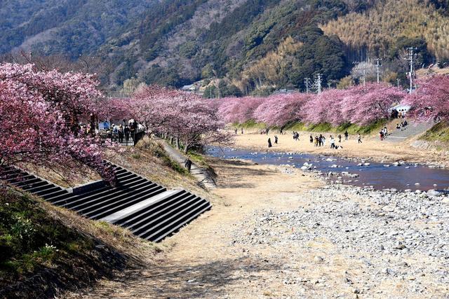 画像: 2 豊泉橋から桜並木を眺める