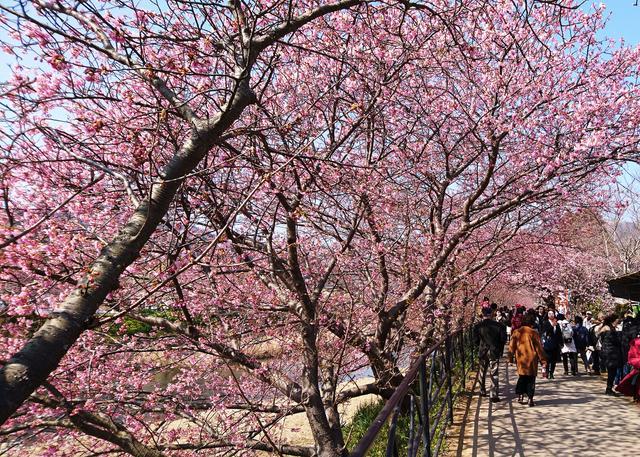 画像: 「河津桜まつり」の魅力は?
