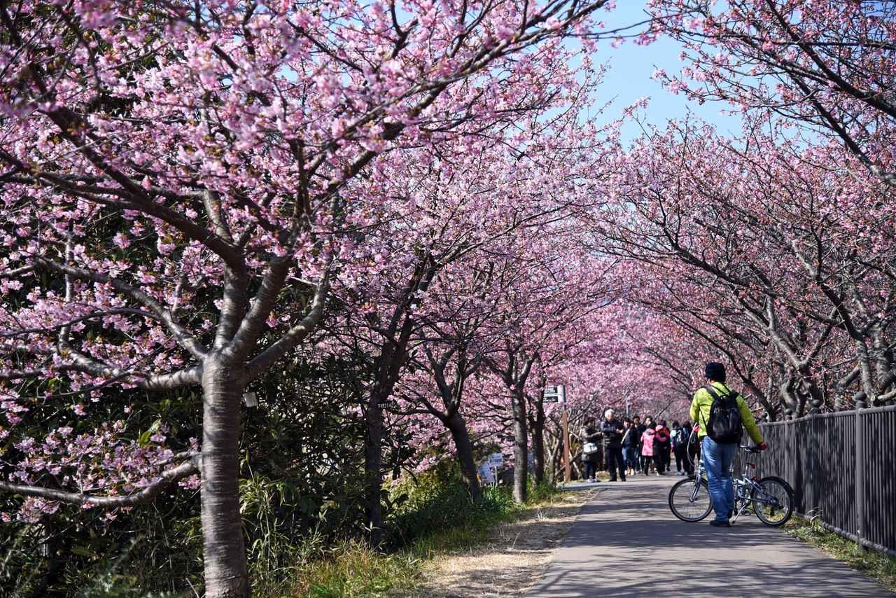 画像: 3 桜のトンネルへ