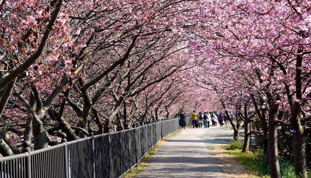 画像: 「河津桜まつり」の車中泊事情