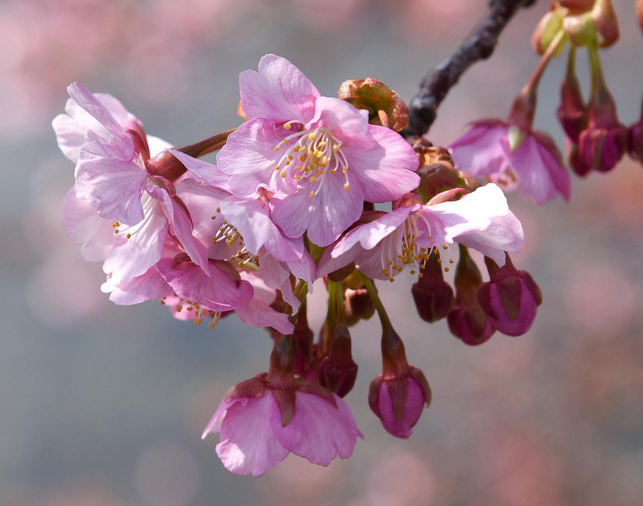 画像: 近い将来、河津川堤の桜が見られなくなる!?