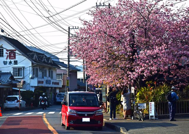 画像: 1 河津桜の原木を訪ねる