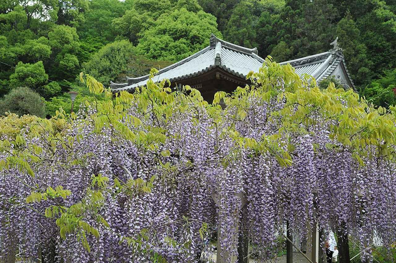 画像: 11番札所 藤井寺/藤井寺の見どころは4月上旬から。藤の花が咲き誇る。