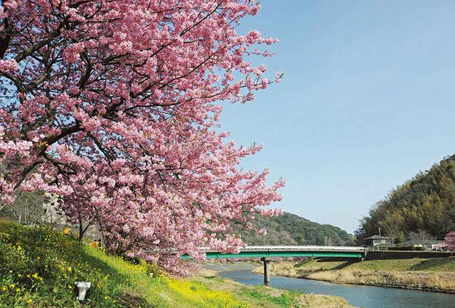 画像: 下賀茂温泉を流れる青野川の河津桜。
