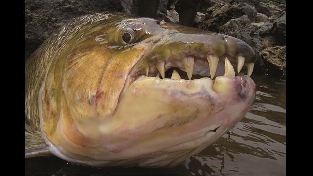"""画像1: こんなヤツらが待っている!! 世界の大""""怪魚""""図鑑 【アフリカ】 - アウトドア情報メディア「SOTOBIRA」"""
