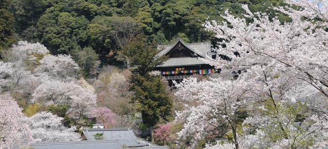 画像: 春の長谷寺(写真は過去の桜の様子)