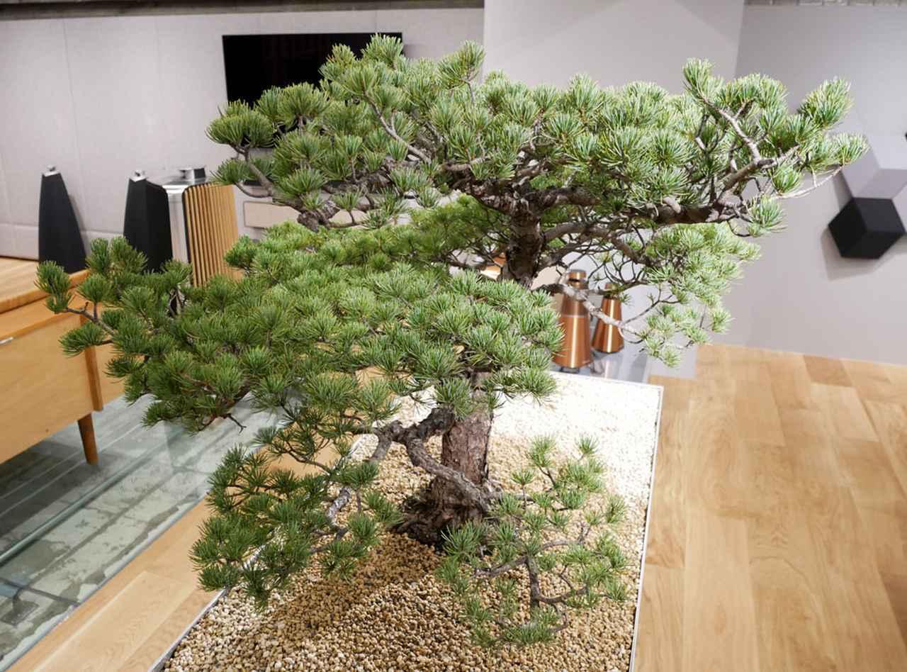 画像: ▲店舗のほぼ中央に配置されている樹齢50年超という松の盆栽