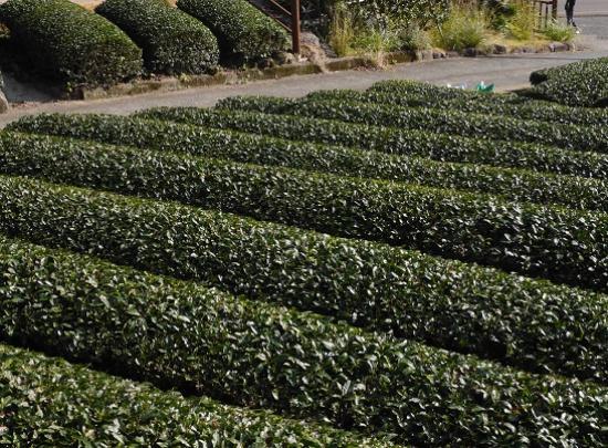 画像: うれしの茶発祥の地