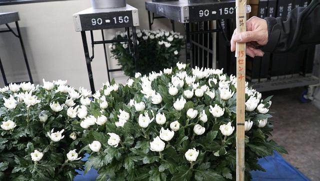 画像: 菊の籠花をつくるときのサイズチェック用物差し