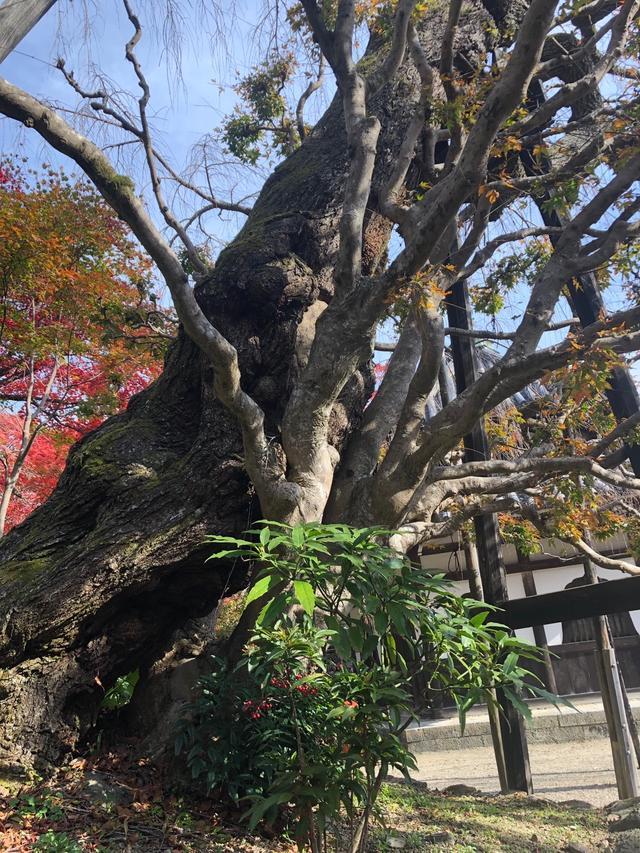 画像: 珍しい桜の木と楓の木が合体した木です。