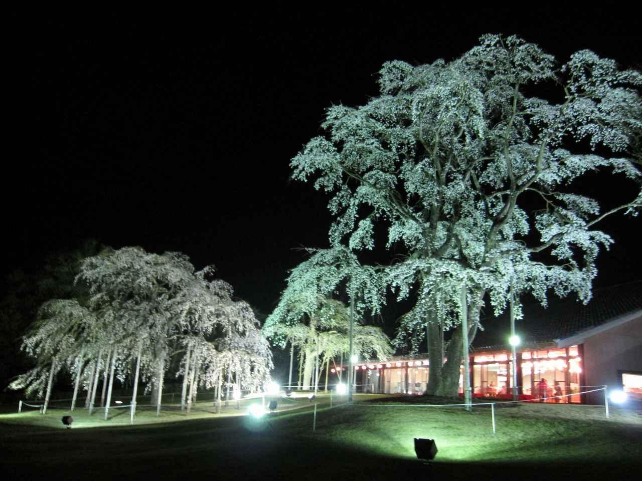 画像: ライトアップされた夜桜を見ながら食事を楽しんでもらうため、年1回夜の営業を実施。高齢の人気行事になっている