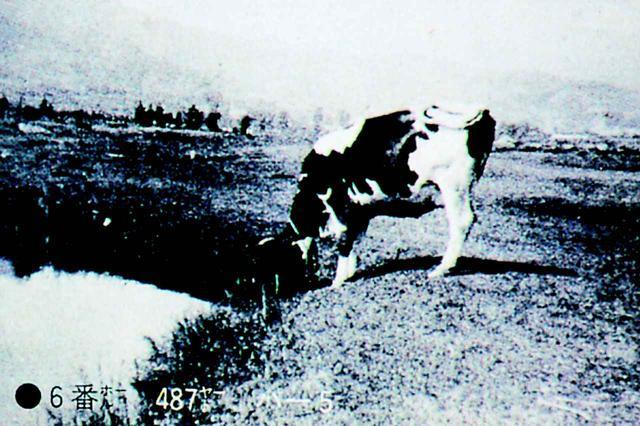 画像: コース内には牛が放牧されていた