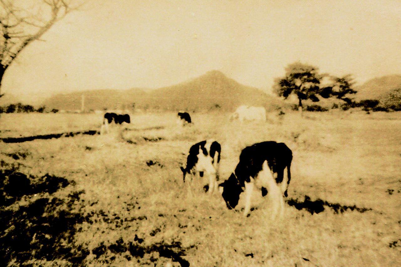 画像: 昭和19年閉鎖。戦時中、コースは酪農場になり牛が放牧された。再開は昭和26年だった。遠方の小高い山が有馬富士