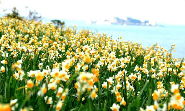 画像: のもざき水仙祭り 1000万本の水仙が、美しい海と軍艦島を望む小高い公園に咲く祭りです。開催は1月上旬~下旬