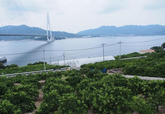 画像: 国産レモンの発祥の地であり、レモンをはじめ柑橘類の栽培が盛ん
