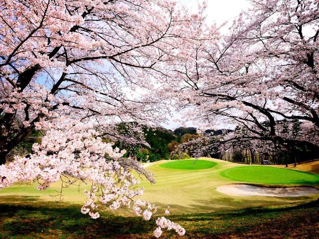 画像: 【神奈川県】700本のソメイヨシノが咲き誇る「津久井湖ゴルフ倶楽部」