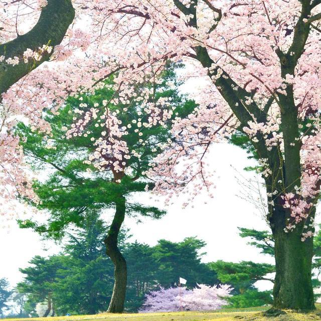 画像: 【埼玉県】コースのロゴも桜「西武園ゴルフ場」