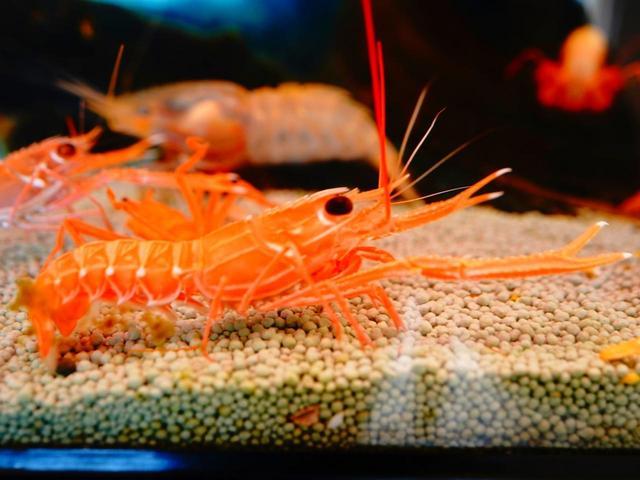画像: 浜値でも2000円を超えるというテナガエビ。水深2~300メートルの海底に生息し、国産品きわめて貴重