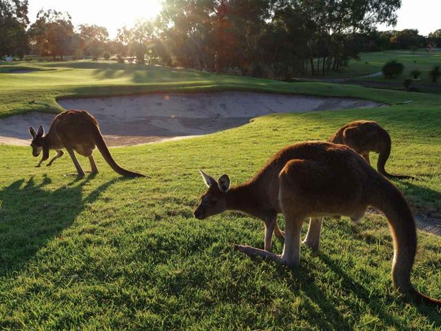 画像: 朝や夕暮れには野生のカンガルーがコースに出没