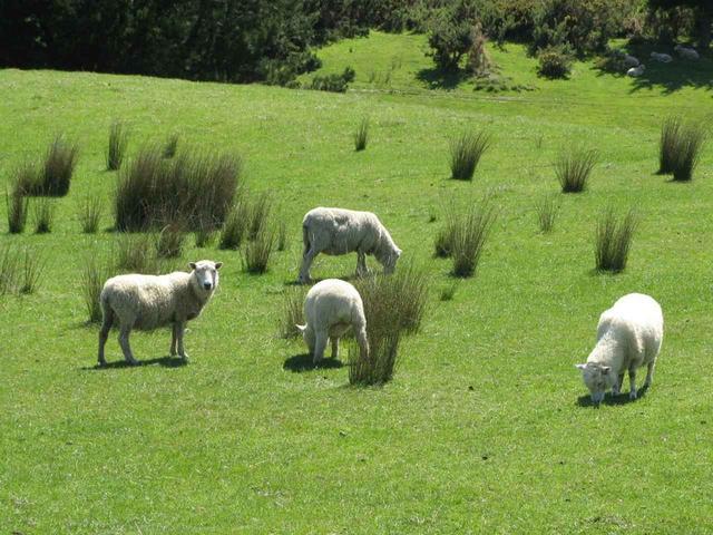 画像: ニュージーランドへ行ったら一度は見てみたい、人よりも多いという羊たち