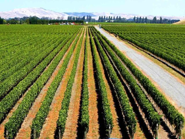 画像: ネーピアはワイン用ぶどうの一大産地
